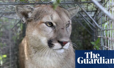 Officials safely relocate mountain lion that wandered San Francisco for days