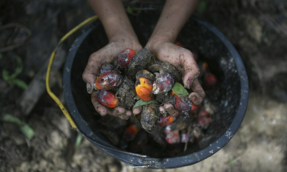 Palm oil labor abuses linked to world's top brands, banks…